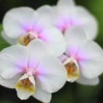なぜお祝いに胡蝶蘭なの?胡蝶蘭に秘められた意味と魅力!