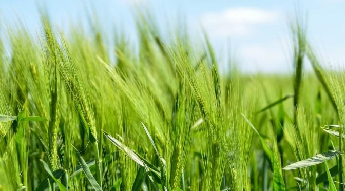 スーパー緑黄色野菜!大麦若葉の効能って?